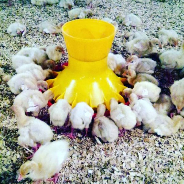 Automatic/manual Pan Feeder for Chicks (New Generation)