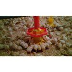 Automatic Pan Feeding System for Turkeys & Chicks
